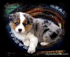 australian shepherd quebec australian shepherd puppies for sale nebraska australian shepherds
