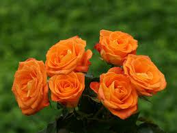 knumathise real orange roses images