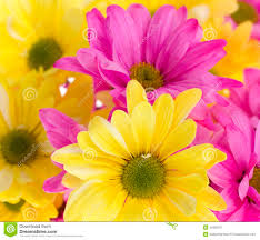 pink daisies flower background hd backgrounds pic