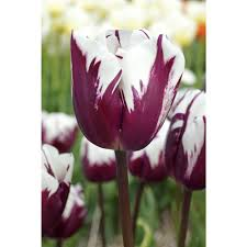 tulip flower bulbs garden plants u0026 flowers the home depot