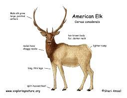 elk american