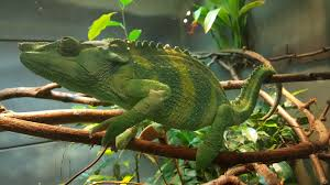 green and brown chameleon free image peakpx