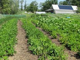 no till permanent beds for organic vegetables cornell small