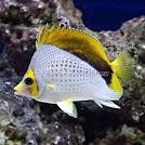 Image result for Chaetodon declivis