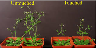 how does light affect plant growth ideas inventions and innovations touchy plants plant growth and