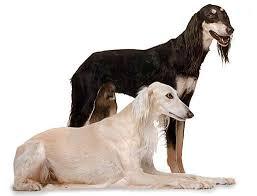 afghan hound harga 77 best my current u0026 past pets u0026 breeds i want someday images on