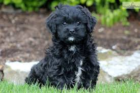 shi poo shih poo shihpoo puppies for sale from reputable dog breeders