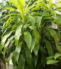 how to grow fatsia plants caret guide houseplant 411 how to