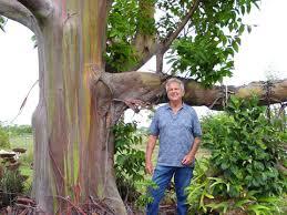 rainbow eucalyptus eucalyptus deglupta trees to and to buy