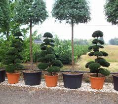 Topiary Cloud Trees - ilex crenata japanese holly
