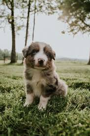 australian shepherd x puppies for sale miniature australian shepherd puppies in hoobly classifieds