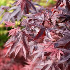 acer bloodgood japanese maple tree mail order trees