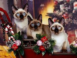 cat christmas 49 best christmas kitties images on christmas animals