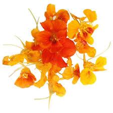 nasturtium flowers buy edible orange nasturtiums online london uk