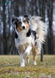 runnin c australian shepherds bernese mountain dog love dogs pinterest bernese mountain