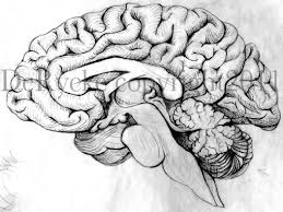 brain anatomy is for lovers