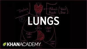 meet the lungs respiratory system physiology nclex rn khan
