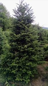 balsam christmas trees ne wall