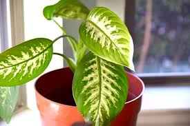 indor plants how to clean indoor houseplants and shine the leaves plus plant