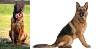 belgian shepherd ears stand up a little information about belgian malinois album on imgur