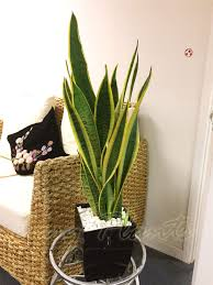 1 mother in law u0027s tongue good luck snake plant in pot evergreen
