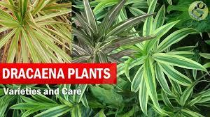 dracaena dragon trees dracaena plant species varieties care of dracena