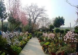 Flowering Cherry Shrub - flowering cherry tree magnolias camellia specialist nursery