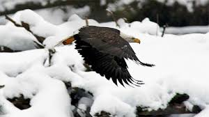 stellers sea eagle wallpapers 30 magnificent free eagle wallpaper collections naldz graphics