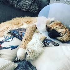 afghan hound attack fundraiser for elyse smith by garnet thompson get stella back on