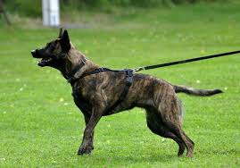 belgian malinois herding herding dogs leashes and lovers