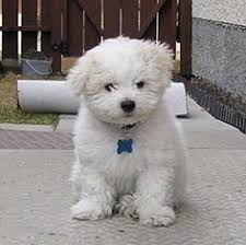 bichon frise dogs for adoption bichon puppies how to care for bichon frise dogs and have a