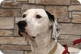 australian shepherd dalmatian mix laser spankee adopted dog newcastle ok english pointer
