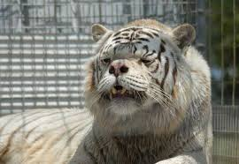 white tigers conserving a lie advocacy for animals