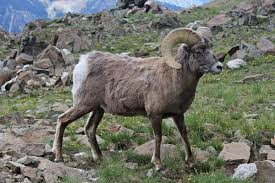 bighorn sheep wikipedia