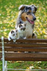 australian shepherd 6 monate fell siamese kittens and an australian shepherd by dogs and cats