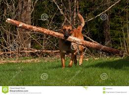 belgian sheepdog brown malinois belgian shepherd stock photo image 53309379
