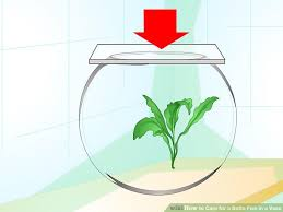 Betta Fish Vase With Bamboo How To Care For A Betta Fish In A Vase With Pictures Wikihow