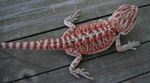 electrical audio u2022 topic bearded dragon