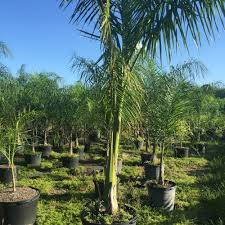 cuban royal palm tree miami plants nursery palm trees