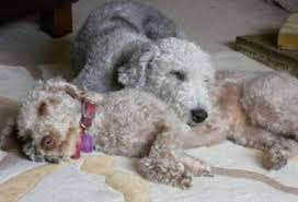 bedlington terrier genetic disease bedlington terrier dog breed information guide with pictures