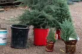 live christmas trees how to choose a living tree to replant after christmas inhabitat
