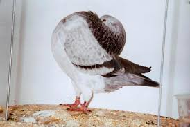 i those fancy pigeons but how do the last biomedical