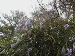 wisteria sinensis australian bush flower wisteria forest garden