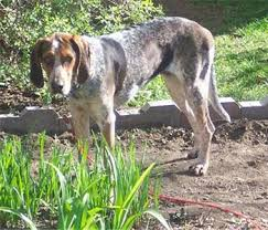buy a bluetick coonhound puppy bluetick coonhound hardy hunting hound