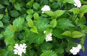 native pa plants native shrubs for shade carolyn u0027s shade gardens