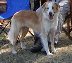 australian shepherd tan national english shepherd rescue english shepherd dog rescue group
