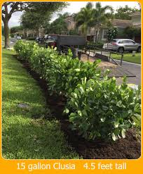 hedging plants budget wholesale nursery clusia rocea pitch apple hedge plants u2013 miami plants u2013 nursery