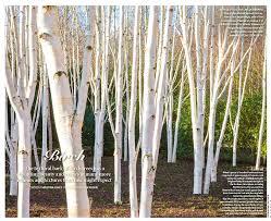 best birch for your garden gardens illustrated
