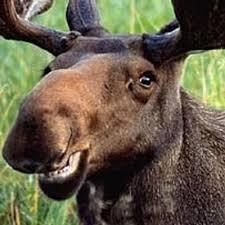 Moose Meme - grinning moose meme generator
