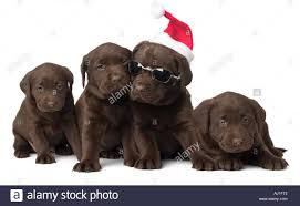 chocolate lab puppy with glasses stock photo royalty free image